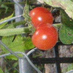 Cherry Tomato Salsa