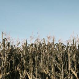 Fresh Corn Chowder